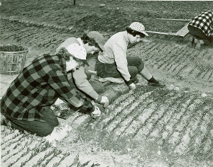Web image: Photo of workers planting willow cuttings in trench made by a specially prepared trenching blade. Click photo for full page view