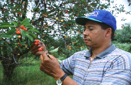 Web image: Photo of an NRCS Resource Conservationist inspecting a cherry tree for pests. Click photo for full page view