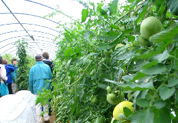 Web image: Photo of tomato plants growing in a seasonal high tunnel. Click photo for full page view