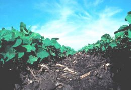 Web image: Photo of ridge till planted soybeans in corn residue. Click photo for full page view