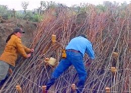 Web image: Willow cuttings being tied to a streambank to provide erosion protection