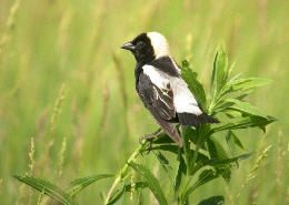 Web image: Photo of a Bobolink. Click image for full screen view.