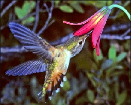 A close-up photo of a hummingbird reaching into a flower to collect nectar