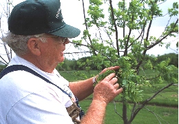 A landowner inspecting branches on a tree prior to being pruned