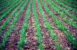 Web image: Photo of new perennial rye cover crop seeding. Click photo for full screen view