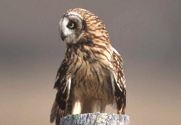 Web image: Photo of a short eared owl perched on a fence post. Click photo for full page view