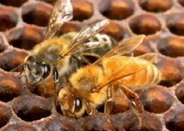 Web image: A pair of worker bees in a hive. Click image to view video