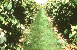 Web image: Photo of a cover crop between rows in a vineyard which protects the soil that would otherwise be exposed and susceptable to erosion. Click photo for full screen view
