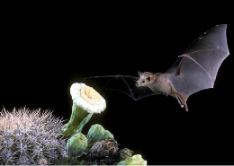 A close-up photo of a bat approaching a cactus blossom