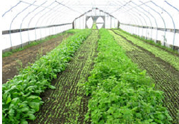 The inside of a seasonal high tunnel with crops at different stages of growth