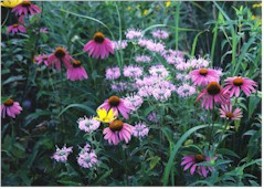 Picture of Prairie Flowers