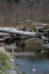 Log and root wad structures in and along Jimmycomelately Creek, create wildlife habitats an essential part of designing the new meandering path of the creek.
