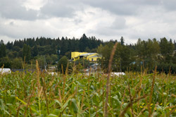 Looking above the corn field, a church is under construction directly across from The South 47 Farm. Urbanization is slowly encroaching onto prime farmland in King County.