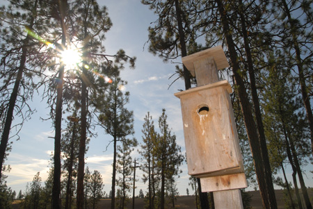 Ed Daellenbach has built and placed more than 30 bluebird houses in his private forest just south of Spokane, Washington.