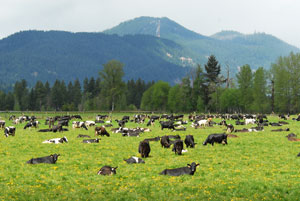 Holstein cattle graze in a pasture near Mountain Meadows Dairy in Trout Lake, Washington.