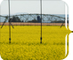 A photo of canola