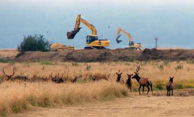 Elk watch as excavators remove the Willapa river dike. Photo by Anitra Gorham