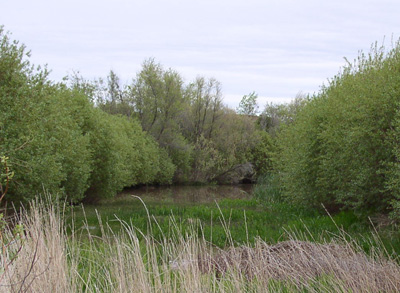 Shallow water area for wildlife 15 years after planting. Tail-water pond seen in the background.