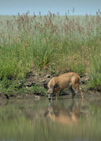 A mule deer doe finds a cool drink of water in one of the 30 ponds created on the Scheibe farm in Asotin County.