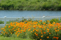 California poppies bloom in profusion near