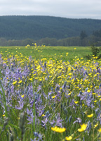 Blooming blue camas and yellow buttercup flowers color the Colvin's field of dreams.