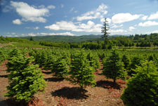 Image: The Wilders have about 30 acres of Christmas tree production