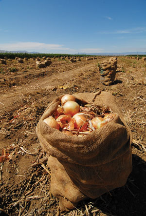 This is a picture of a sac of onions in a field.