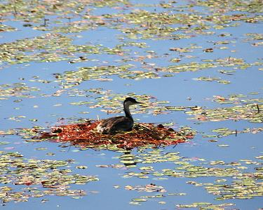 Western Grebe on a nest on Cave Lake, in Kootenai County, Idaho