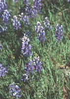 Purple Lupine: A native plant found in the Intermountain West.