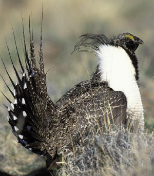 A photo of a Sage-grouse