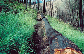 Burned log felled across a slope with seeded slender wheatgrass.