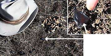 Photo shows cecal tar - evidence of high sagebrush content of diet.