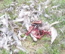 Photo of sage-grouse remains after being killed and eaten by a predator.