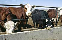 Photo of cows at feed trough.