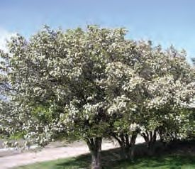 Black hawthorn nrcs montana for Indian food hawthorne