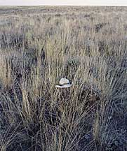 Photo of healthy sagebrush-bluebunch range.