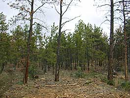 In this photo, a dense tree stand is shown.