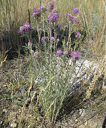 Photo of large knapweed plant with many purple blossoms before spraying.
