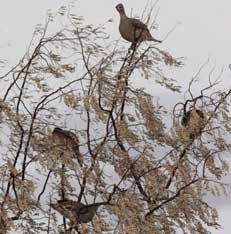 Photo of several sharp-tailed grouse in a Russian olive tree.