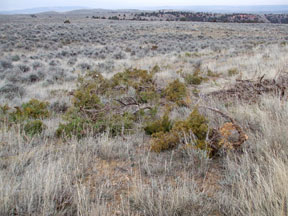 Lop-and-scatter cutting of juniper.