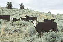 Photo shows cattle grazing healthy sagebrush grasslands.