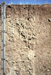 The Montana State Soil is Scobey