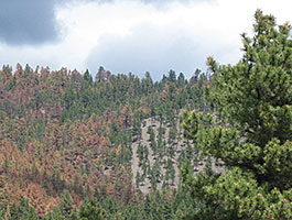 In this photos, brown trees can be seen in an area not thinned.
