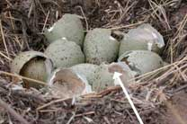 Photo of nest with successfully hatched eggs.