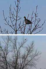 Two photos of sharp-tailed grouse in cottonwood trees.