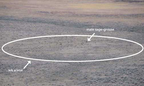 Photo shows lek arena with displaying male sage-grouse.