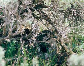Close-up of sage-grouse on nest.