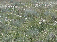 Photo shows grasses and forbs growing with sagebrush