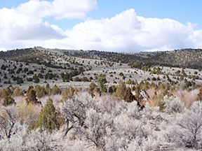 Relatively thick conifer growth in rangeland near Virginia City, MT.