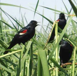 Over 60,000 adult Tricolored Blackbirds, like those shown here, were given a chance to breed this year.